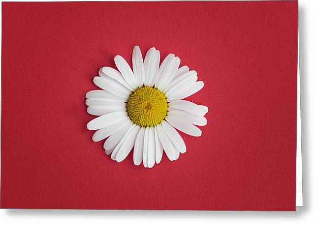 Moon Flower Greeting Cards - Oxeye Daisy Square Red Greeting Card by Tim Gainey