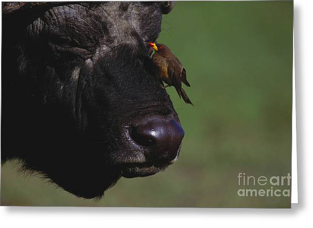 Close Up Buffalo Greeting Cards - Oxpecker On African Buffalo Greeting Card by Art Wolfe