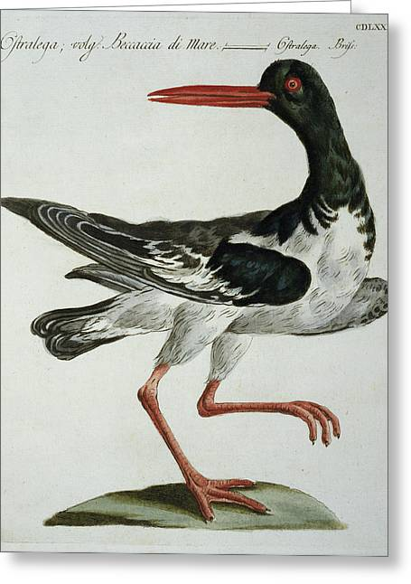 Sea Birds Greeting Cards - Oyster Catcher, C.1767-76 Greeting Card by Italian School