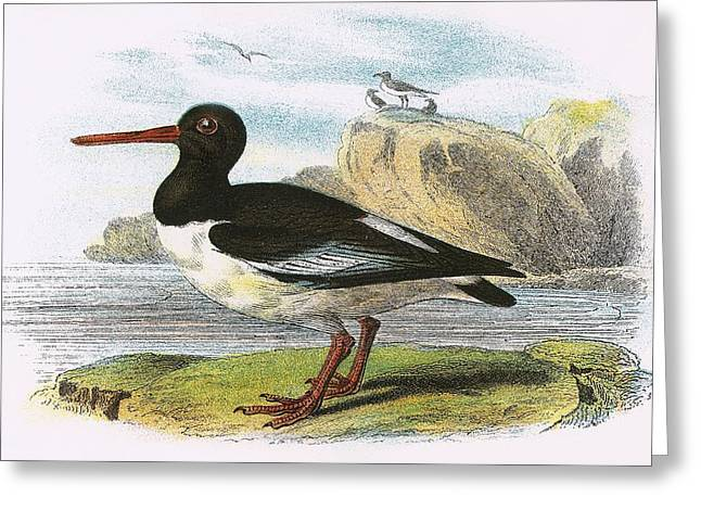 Oysters Greeting Cards - Oyster Catcher Greeting Card by English School