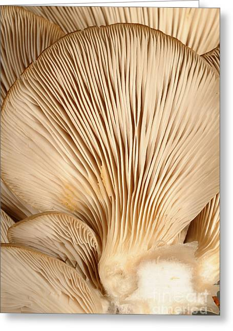 Edible Greeting Cards - Oyster Mushrooms Greeting Card by Nigel Cattlin