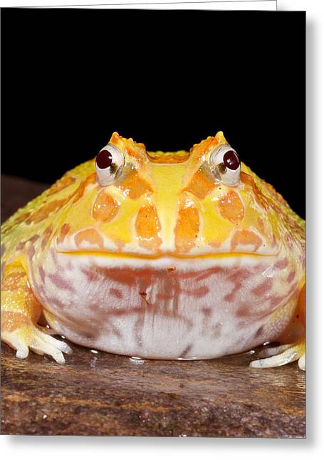 Pac Man Frog Ceratophrys On A Rock Greeting Card by David Kenny