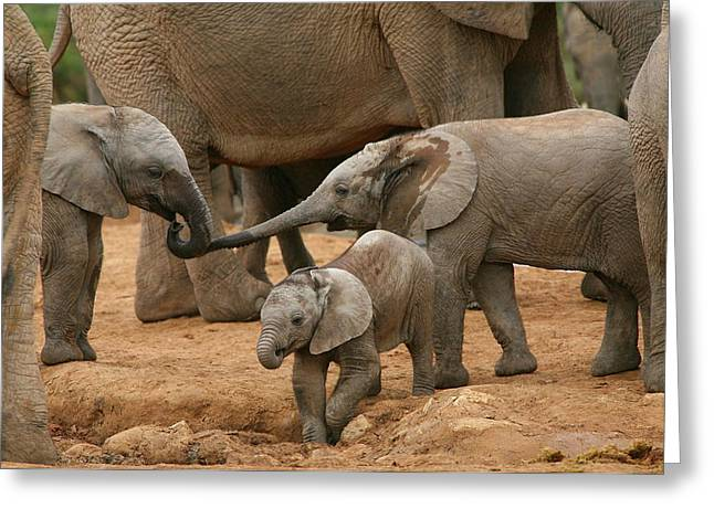 African Elephants Greeting Cards - Pachyderm Pals Greeting Card by Bruce J Robinson