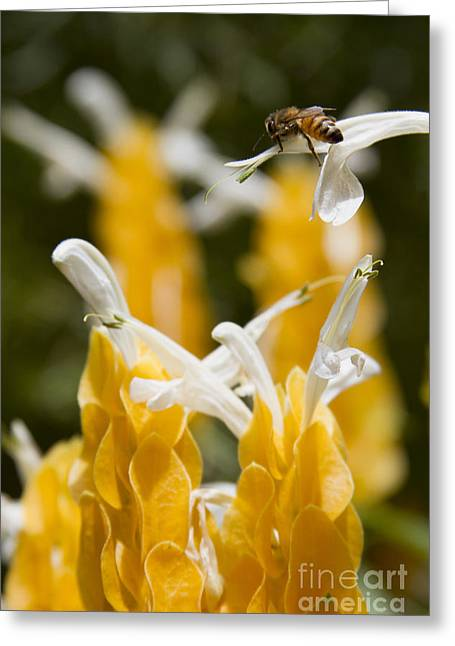Tubular Greeting Cards - Pachystachys Lutea - Lollipop Plant - Golden Candle - Shrimp Plant Greeting Card by Sharon Mau