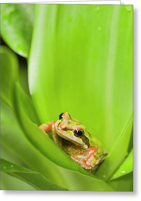 Pacific Chorus Frog  Pseudacris Regilla Greeting Card by Corey Hochachka