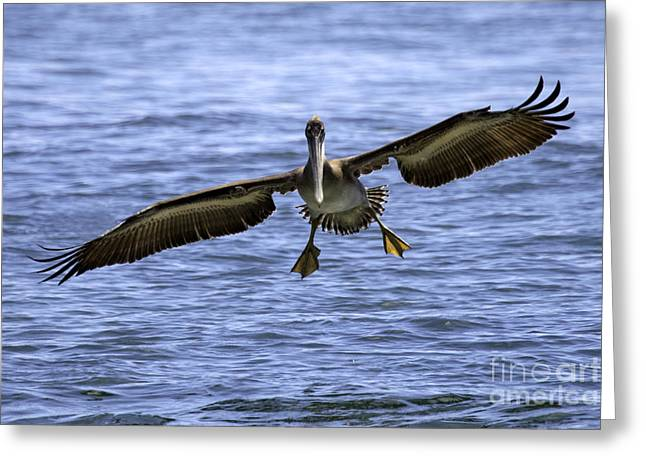 Tim Moore Greeting Cards - Pacific Coast Brown Pelican Greeting Card by Tim Moore
