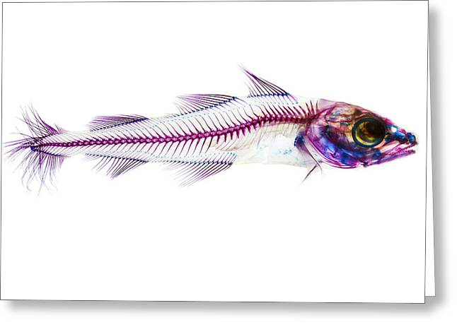 Skeleton Greeting Cards - Pacific Cod Greeting Card by Adam Summers
