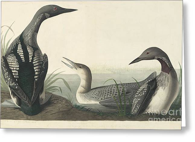 Pecking Drawings Greeting Cards - Pacific Loon  Greeting Card by John James Audubon