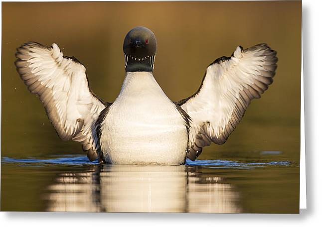 Pacific Loon Wing Flap Greeting Card by Tim Grams
