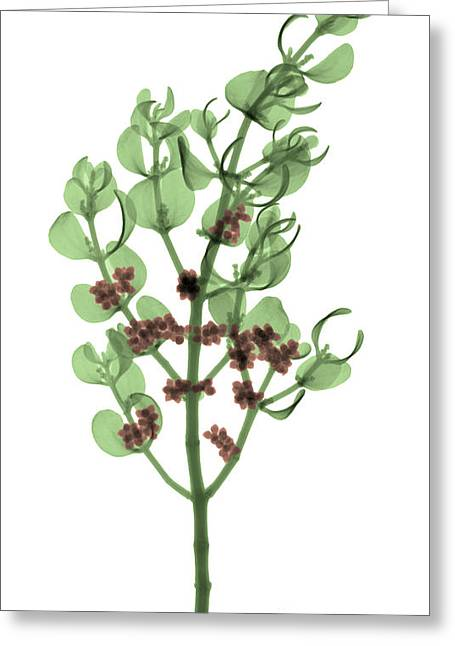 Aphrodisiac Greeting Cards - Pacific Mistletoe, Phoradendron Greeting Card by Ted Kinsman