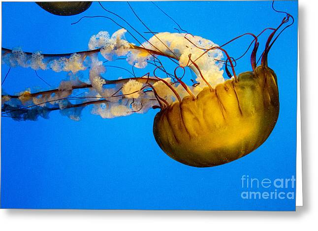 Jelly Fish Greeting Cards - Pacific Nettle Jellyfish Greeting Card by Darleen Stry