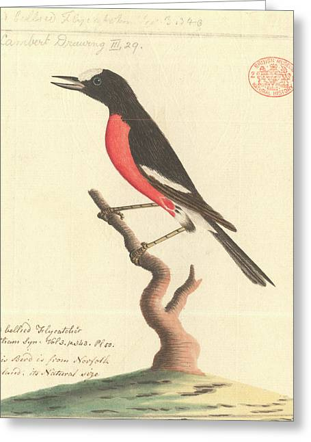 Pacific Robin Greeting Card by Natural History Museum, London