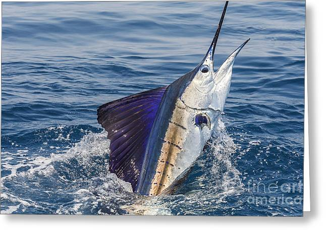 Striped Marlin Greeting Cards - Pacific Sail Greeting Card by Scott Kerrigan