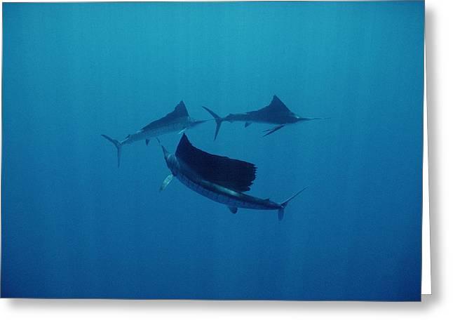 Bayonet Greeting Cards - Pacific Sailfish Off Of Manualita Isl Greeting Card by Flip Nicklin