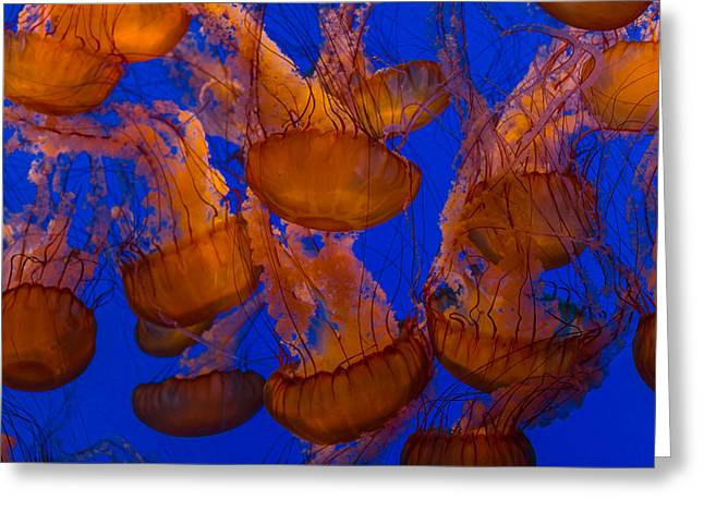 Dance Greeting Cards - Pacific Sea Nettle Cluster 1 Greeting Card by Scott Campbell