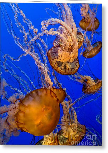 Jelly Fish Greeting Cards - Pacific Sea Nettle Jellyfish Greeting Card by Jerry Fornarotto