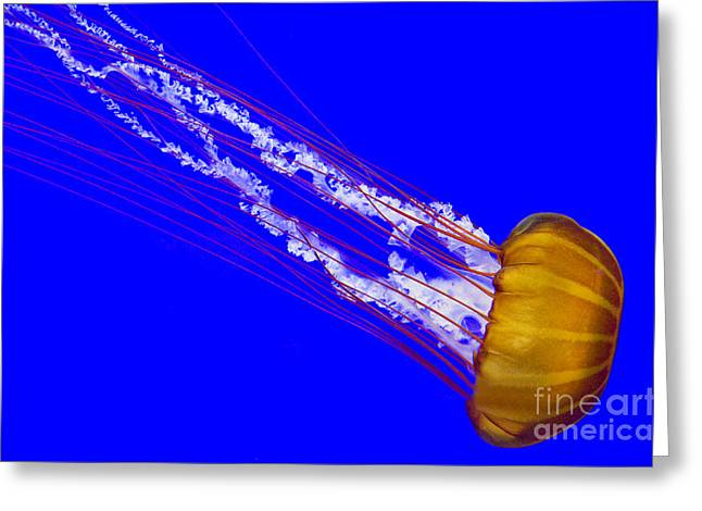 Boren Greeting Cards - Pacific Sea Nettle Greeting Card by Nick  Boren