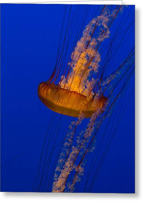 Glow Greeting Cards - Pacific Sea Nettles in a row Greeting Card by Scott Campbell