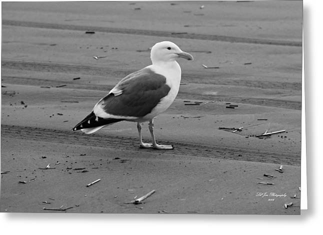 Pacific Seagull In Black And White Greeting Card by Jeanette C Landstrom