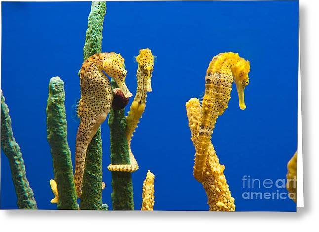 Pacific Seahorses Hippocampus Ingens Are Among The Giants Of Their World Greeting Card by Jamie Pham