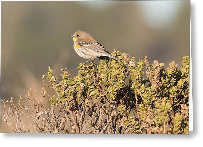 Ano Nuevo Photographs Greeting Cards - Pacific Sloped Flycatcher Greeting Card by Natural Focal Point Photography
