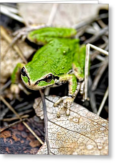 Morph Greeting Cards - Pacific Tree Frog 2a Greeting Card by Sharon  Talson