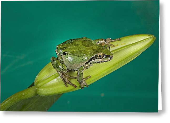 Pacific Tree Frog Greeting Cards - Pacific Tree Frog Greeting Card by Buddy Mays