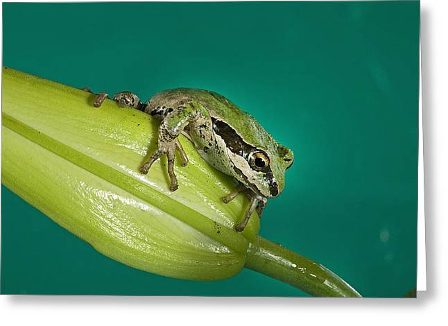 Pacific Tree Frog Greeting Cards - Pacific Tree Frog II Greeting Card by Buddy Mays