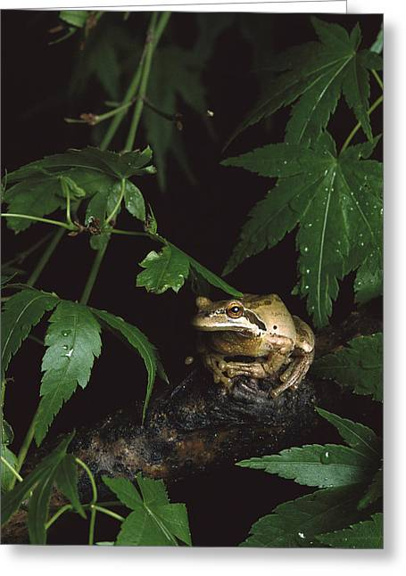 Hyla Regilla Greeting Cards - Pacific Tree Frog North America Greeting Card by Gerry Ellis