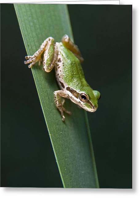 Pacific Tree Frog Greeting Cards - Pacific Tree Frog Pseudacris Regilla Greeting Card by Jack Goldfarb