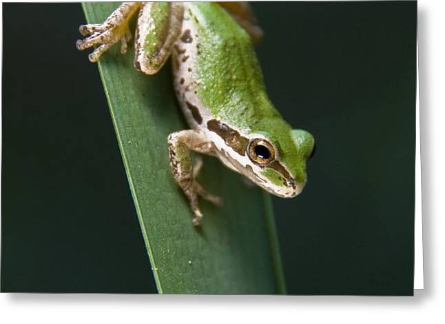 Pacific Tree Frog Pseudacris Regilla Greeting Card by Jack Goldfarb