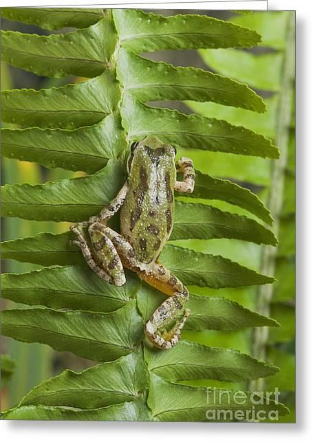 Hyla Regilla Greeting Cards - Pacific treefrog on deer fern Greeting Card by Dan Suzio