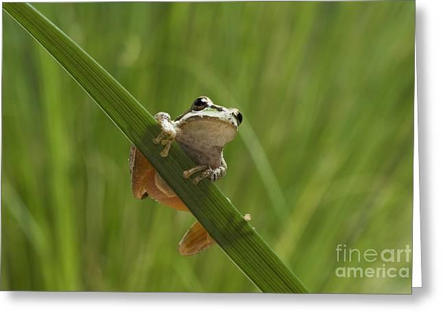 Hyla Regilla Greeting Cards - Pacific treefrog on iris leaf Greeting Card by Dan Suzio