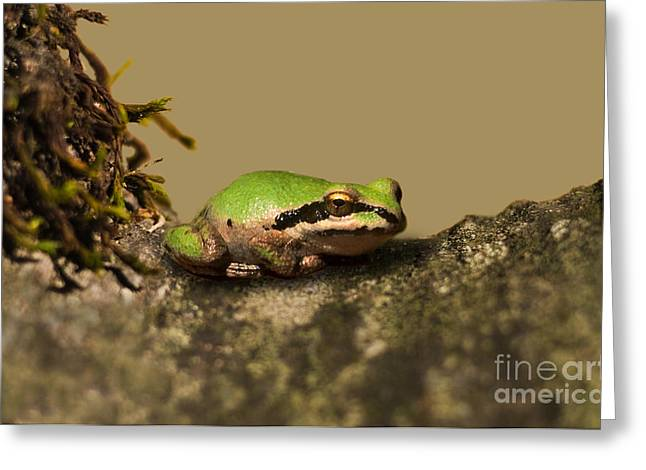 Hyla Regilla Greeting Cards - Pacific Treefrog Greeting Card by Ron Sanford