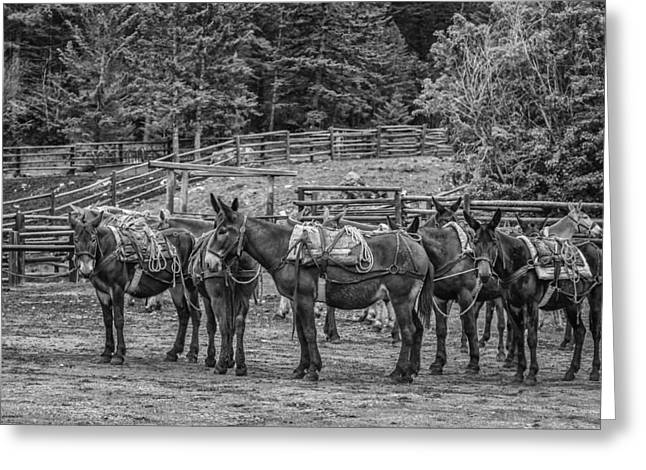 Black Lodge Photographs Greeting Cards - Pack Mules Greeting Card by Thomas Young