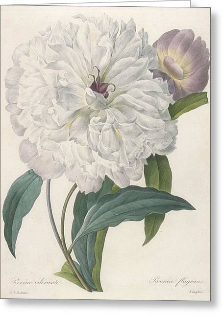 Calligraphy Drawings Greeting Cards - Paeonia Flagrans Peony Greeting Card by Pierre Joseph Redoute