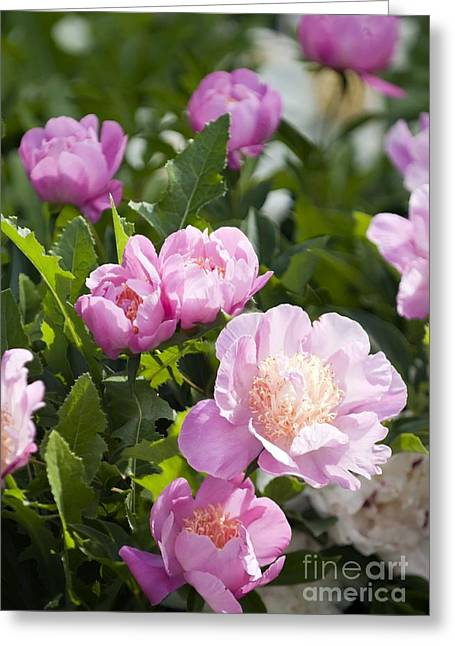 Bowl Of Flowers Greeting Cards - Paeonia Lactiflora bowl Of Beauty Greeting Card by Maria Mosolova