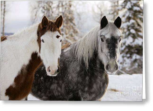 Quarterhorses Greeting Cards - Paint Horse And Quarterhorse Draft Greeting Card by Rolf Kopfle