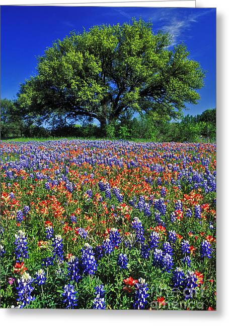 Bluebonnet Landscape Greeting Cards - Paintbrush and Bluebonnets - FS000057 Greeting Card by Daniel Dempster