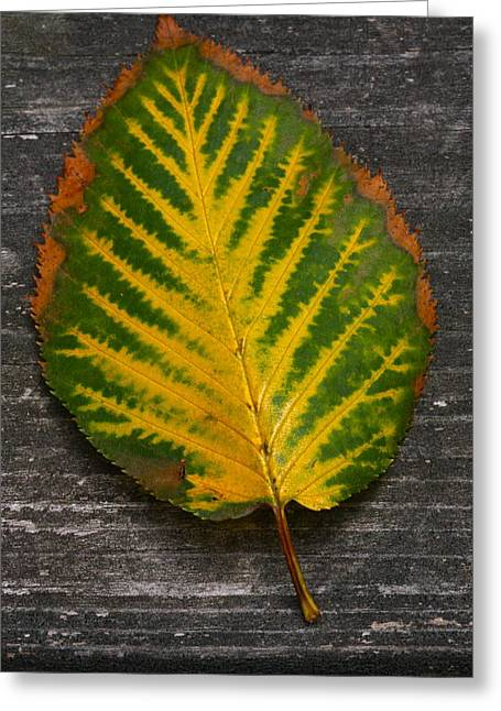 Foliage Pyrography Greeting Cards - Birch Leaf Greeting Card by Lynn-Marie Gildersleeve