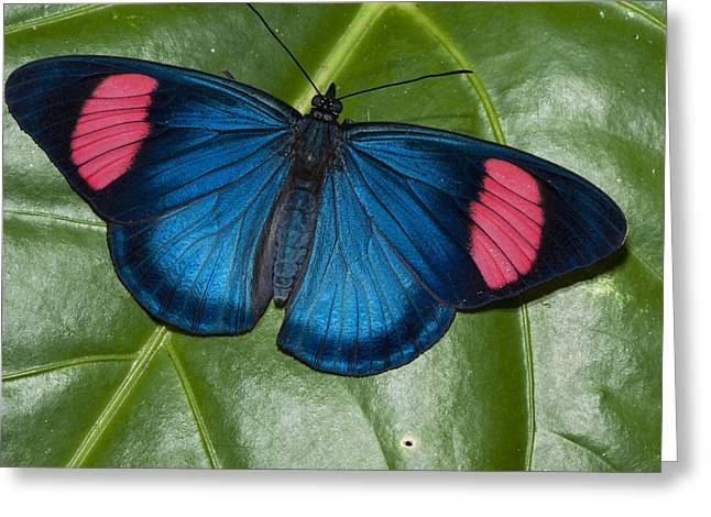 Nymphalidae Greeting Cards - Painted Beauty Yasuni Ecuador Greeting Card by Pete  Oxford