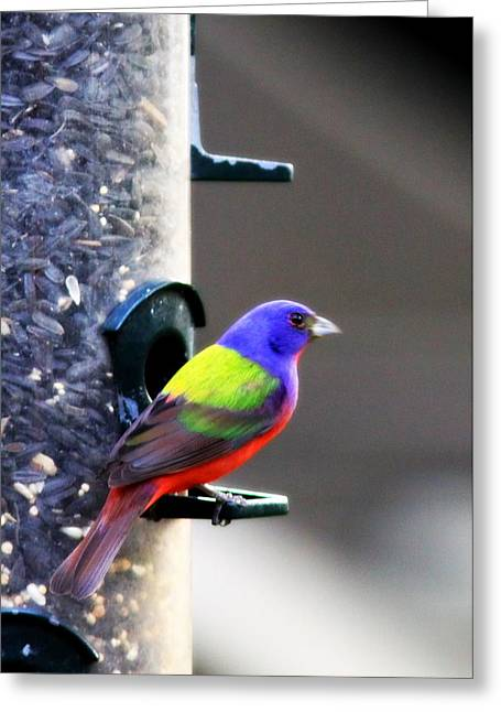 Travis Truelove Photography Greeting Cards - Painted Bunting - IMG 9757-002 Greeting Card by Travis Truelove
