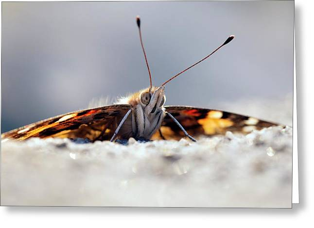Painted Lady Butterfly Greeting Card by Alex Hyde