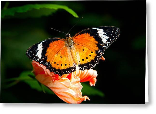 Painted Lady Butterflies Greeting Cards - Painted Lady Butterfly Greeting Card by James O Thompson