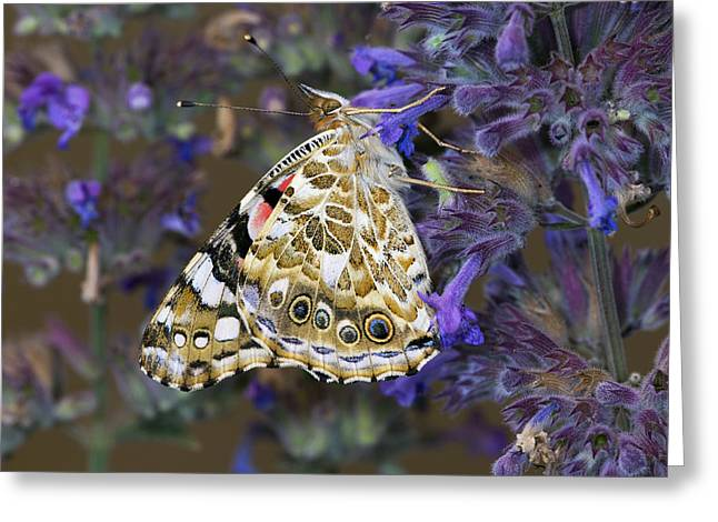 Painted Lady Butterfly Netherlands Greeting Card by Frans Hodzelmans