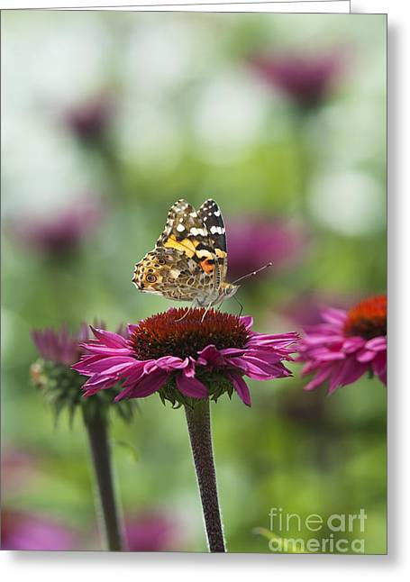Ornamental Plants Greeting Cards - Painted Lady Butterfly  Greeting Card by Tim Gainey
