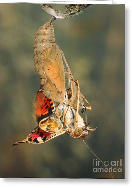 Painted Lady Butterflies Greeting Cards - Painted Lady Emerging From Chrysalis Greeting Card by Hermann Eisenbeiss