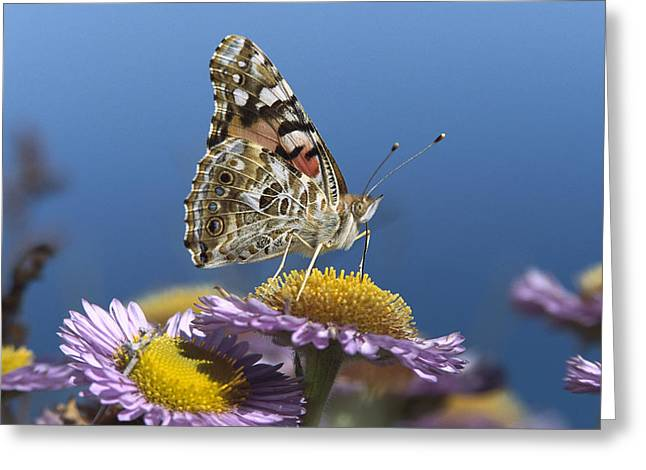 Paint Photograph Greeting Cards - Painted Lady Feeding On Purple Aster Greeting Card by Tim Fitzharris