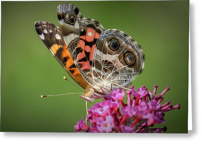 James Barber Greeting Cards - Painted Lady Greeting Card by James Barber