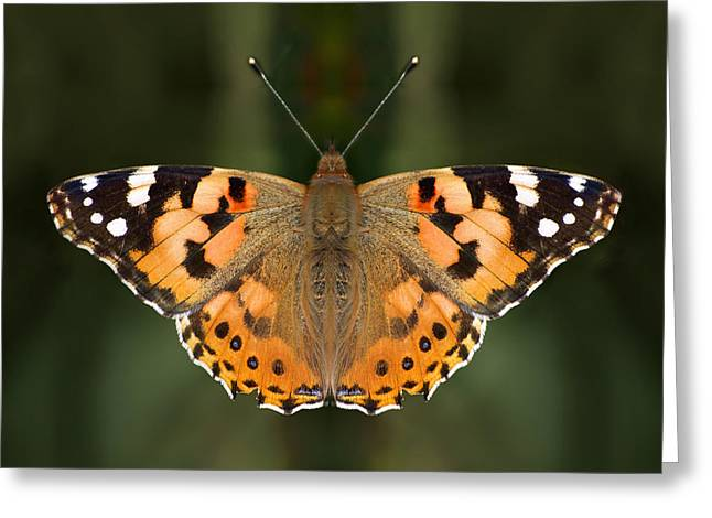 Paint Photograph Greeting Cards - Painted Lady Greeting Card by Meir Ezrachi